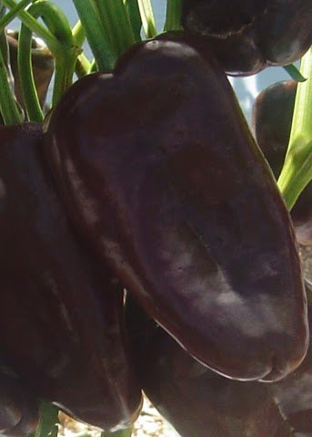 Semente de Pimenta Híbrida Hot Chocolate Isla (984)