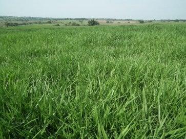 Semente de Capim Piatã (Brachiaria brizantha) 10Kg V/C: 80 (8 a 9 Kg/ha) Incrustada Advanced Soesp - Canal Agrícola