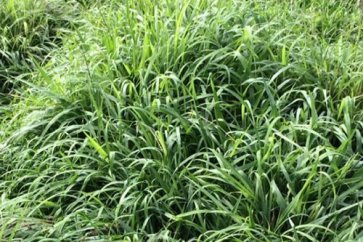Semente de Capim Tamani (Panicum maximum) Incrustada Soesp - Canal Agrícola