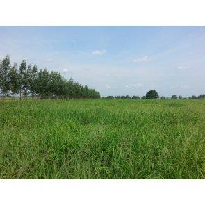 Semente de Capim Aruana (Panicum maximum) 10Kg V/C: 80 (4 a 5 kg/ha) Incrustada Advanced Soesp - Canal Agrícola