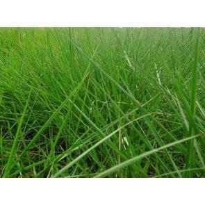 Semente de Capim Dictyoneura (Brachiaria humidicola) 20Kg V/C: 50 (6 a 8 Kg/ha) Soesp - Canal Agrícola