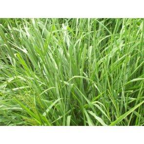 Semente de Capim Massai (P. maximum x P. infestum) Incrustada Matsuda - Canal Agrícola