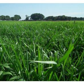 Semente de Capim Mombaça (Panicum maximum) 10Kg V/C: 80 (4 a 5 Kg/ha) Incrustada Advanced Soesp - Canal Agrícola