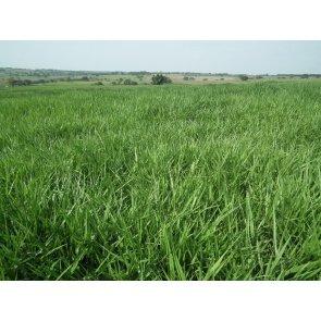 Semente de Capim Piatã (Brachiaria brizantha) 20Kg V/C: 50 (10 a 12 Kg/ha) Soesp - Canal Agrícola