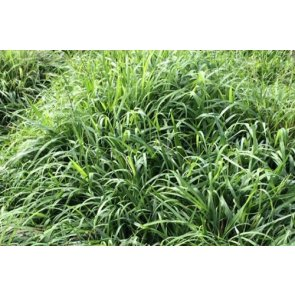 Semente de Capim Tamani (Panicum maximum) 20Kg V/C: 34 (9 a 10 Kg/ha) Soesp - Canal Agrícola