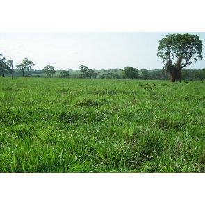 Semente de Capim MG-5 (Brachiaria brizantha) 10Kg V/C: 80 (8 a 9 Kg/ha) Incrustada Soesp - Canal Agrícola
