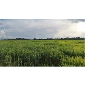 Semente de Capim Zuri (Panicum maximum) Incrustada Soesp - Canal Agrícola