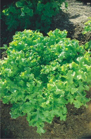Semente de Alface Mimosa (Salad Bowl) Isla (40) - Canal Agrícola