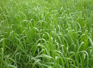 Semente de Capim Basilisk (Brachiaria decumbens) Incrustada Soesp - Canal Agrícola