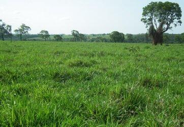 Semente de Capim MG-5 (Brachiaria brizantha) 20Kg V/C: 75 (6,5 a 8 Kg/ha) Soesp - Canal Agrícola