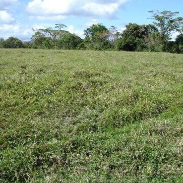 Semente de Capim Basilisk (Brachiaria decumbens) Matsuda - Canal Agrícola