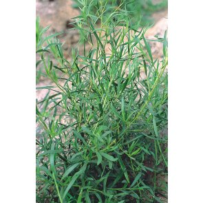 Semente de Estragão Russo / Artemisia Isla (480)