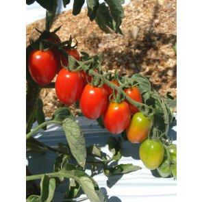 Semente Tomate Hibrido Dolcetto Grape Isla (285) - Canal Agrícola