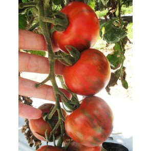 Semente Tomate Híbrido Tigre Isla (289) - Canal Agrícola