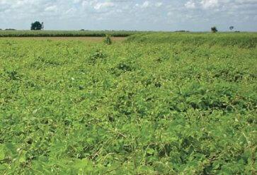 Semente de Leguminosa Java (Macrotyloma axillare) Matsuda - Canal Agrícola