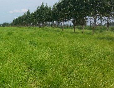 Semente de Capim Massai (P. Maximum x P. Infestum) Soesp - Canal Agrícola