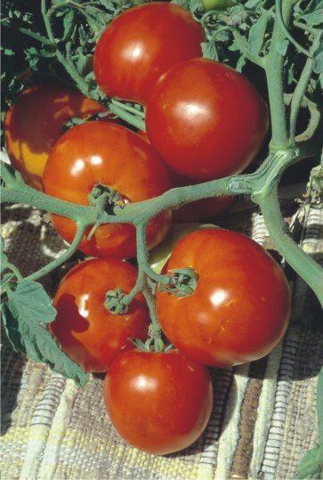 Semente de Tomate Rasteiro Rio Grande Isla (265) - Canal Agrícola