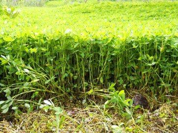 Semente de Amendoim Forrageiro Perene (Arachis pintoi) Matsuda - Canal Agrícola