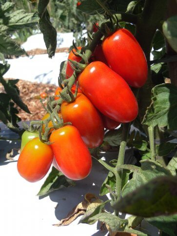 Semente Tomate Híbrido Sorbetto Mini San Isla (286) - Canal Agrícola
