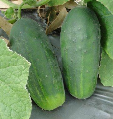 Semente de Pepino Híbrido Green Pick (Tipo Caipira) Isla (198) - Canal Agrícola