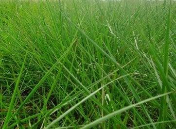 Semente de Capim Dictyoneura (Brachiaria humidicola) 20Kg V/C: 72 (4 a 5,4 Kg/ha) Soesp - Canal Agrícola