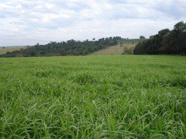 Semente de Capim Mombaça (Panicum maximum) Incrustada Matsuda - Canal Agrícola