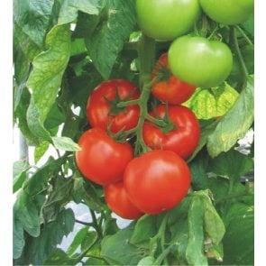 Semente de Tomate Híbrido Akrai Isla (269) - Canal Agrícola